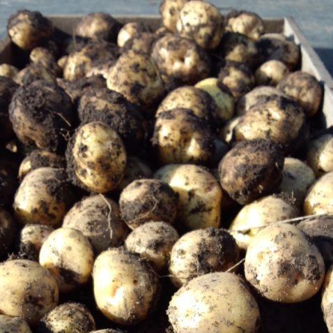 potato2014.jpg